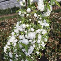 Prunus glandulosa Plant - Rosea Plena