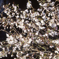 Prunus incisa Plant - Kojou-No-Mai-Noble