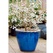 Prunus incisa Plant - Kojo-No-Mai