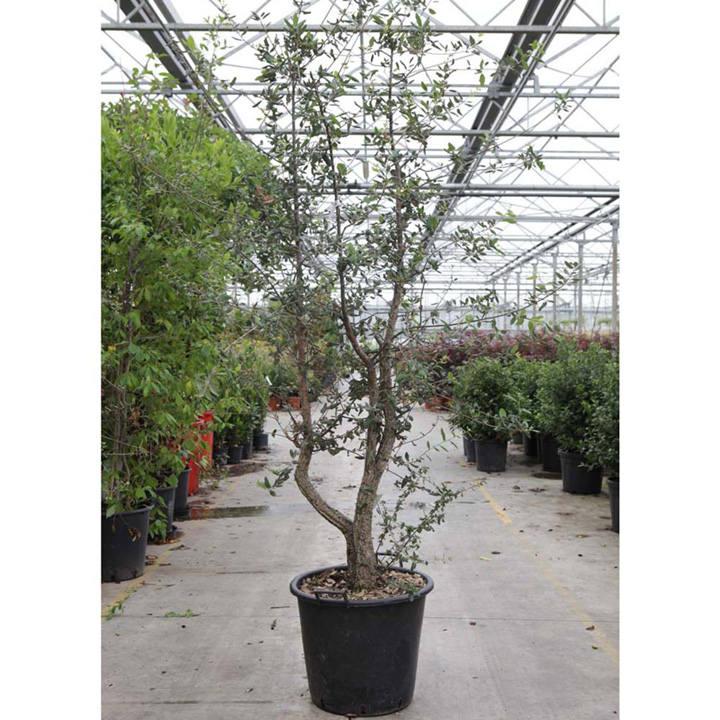Rhaphiolepis umbellata ovata Plant