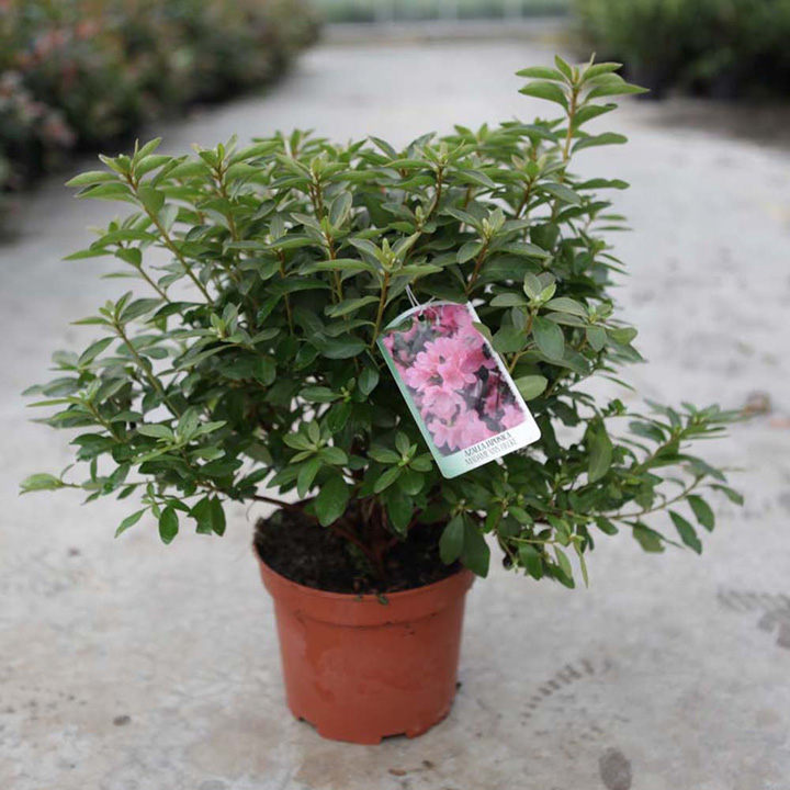 Rhododendron (AJ) Plant - Madame Galle
