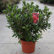 Rhododendron (AJ) Plant - Moederkensdag