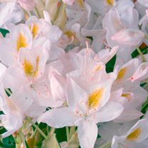 Rhododendron Plant - Madame Masson