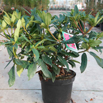 Rhododendron Plant - Marie Forte