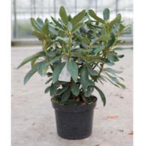 Rhododendron Plant - Nova Zembla