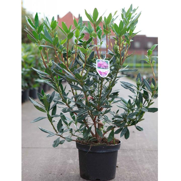 Rhododendron ponticum Plant