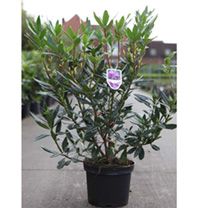 Rhododendron pont. Plant - Variegatum
