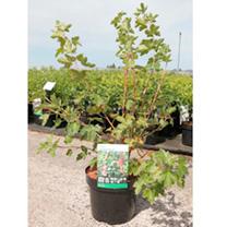 Ribes gordonianum Plant