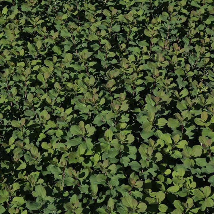 Spiraea betulifolia Plant - Tor