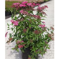 Spiraea japonica Plant - Double Play Artist