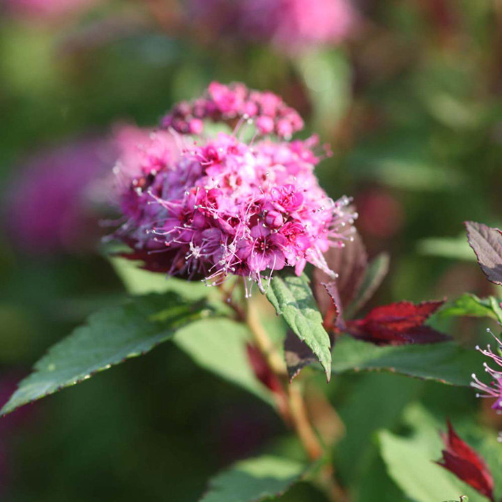 Spiraea japonica Plant - Double Play Big Bang®