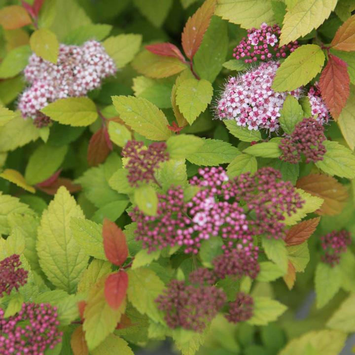 Spiraea japonica Plant - Firelight