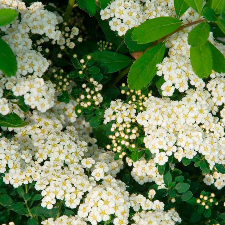 Spiraea nipponica Plant - Snowmound