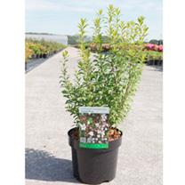 Spiraea thunbergia Plant - Fujino Pink
