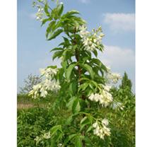 Stephanandra tanakae Plant