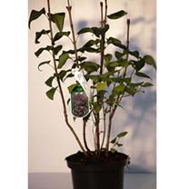 Tamarix Plant - Hulsdonk White