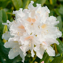 Viburnum davidii Plant - Angustifolium