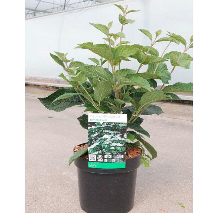 Viburnum plicatum Plant - Tomentosum