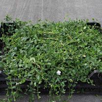 Vinca minor Plant - Illumination