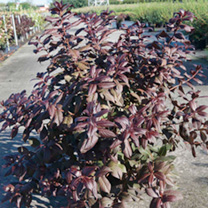 Weigela florida Plant - Minor Black®