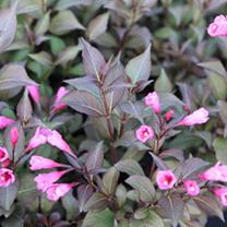 Weigela middendorffiana Plant