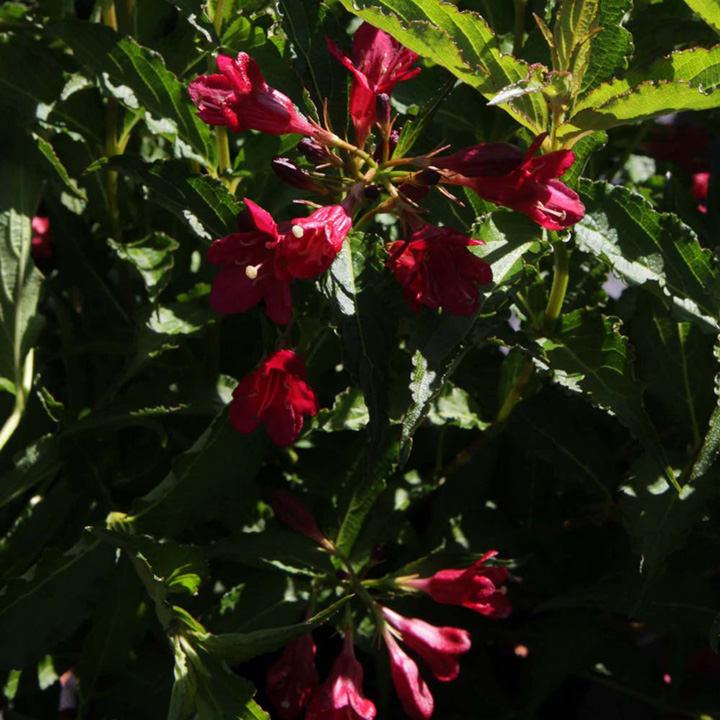 Weigela Plant - Nain Rouge®