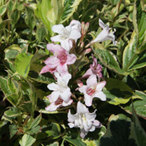 Weigela Plant - Naomi Campbell