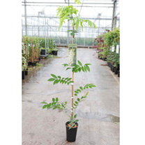 Wisteria floribunda Plant - Longissima Alba (Shiro Noda)