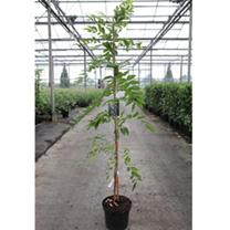 Westeria floribunda Plant - Rosea (syn. Honbeni)