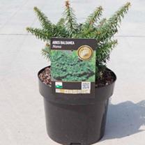 Abies balsamea Plant - Nana
