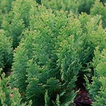 Chamaecyparis L. Plant - Minima-Aurea