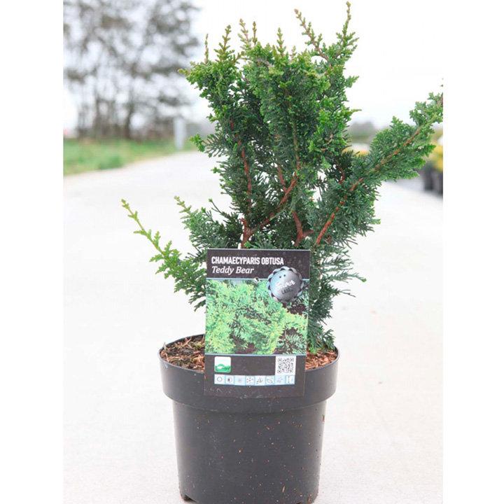 Chamaecyparis pisifera Plant - Teddy Bear