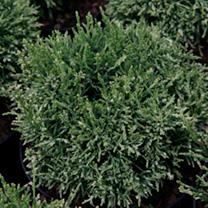 Chamaecyparis pisifera Plant - White Pygmy