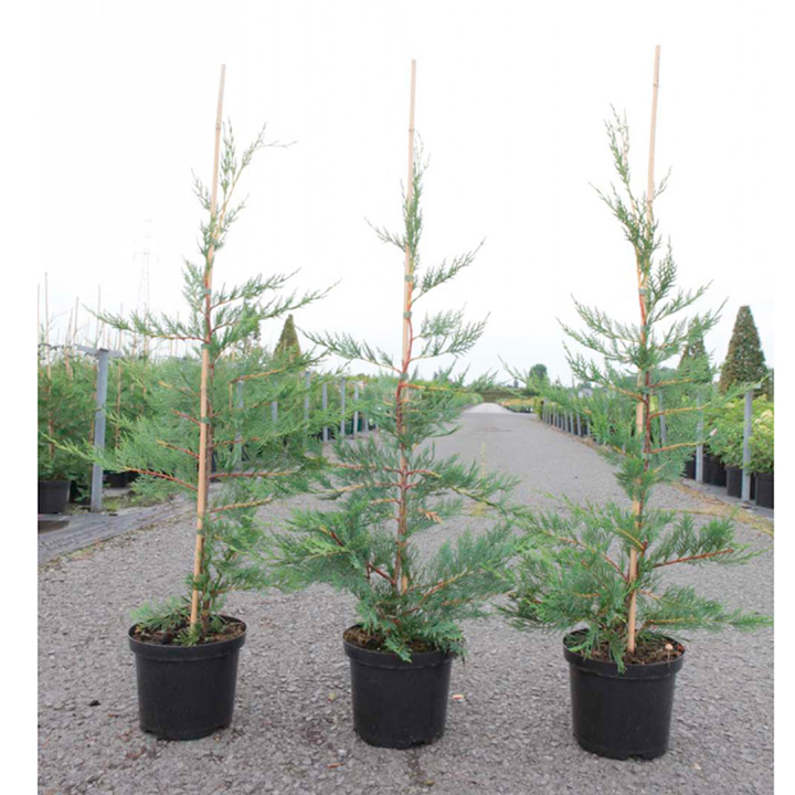 Cupressocyparis leylandii Plant