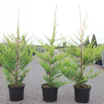 Cupressocyparis leylandii Plant - Castlewellan