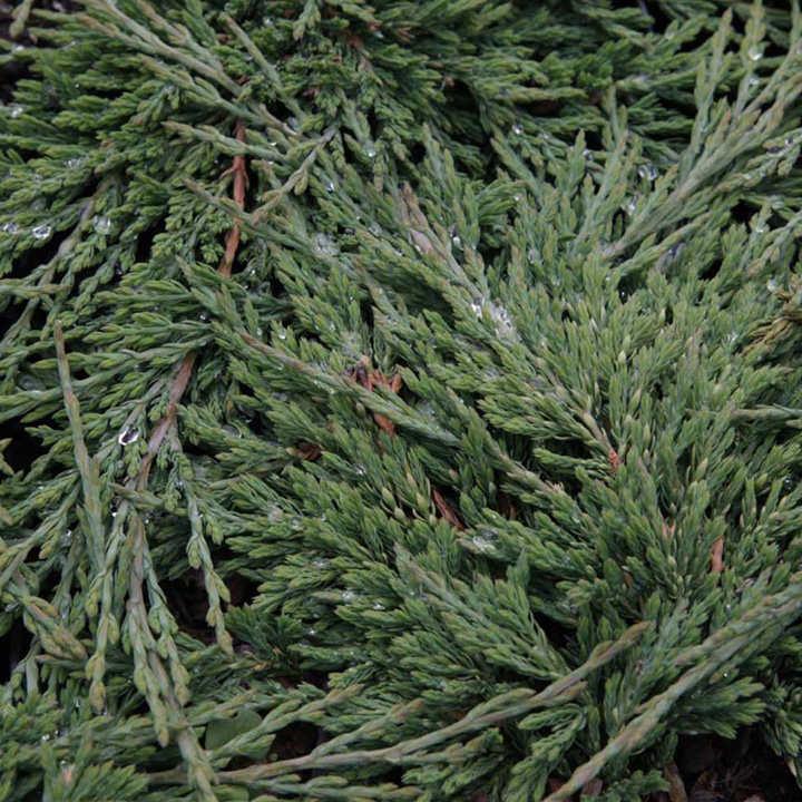 Juniperus horizontalis Plant - Prince of Wales