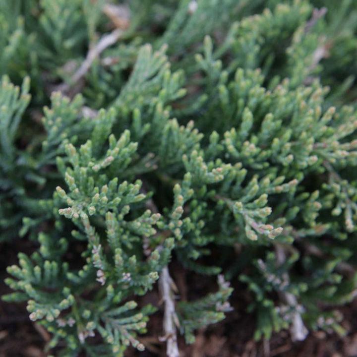 Juniperus horizontalis Plant - Wiltonii