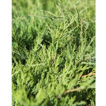 Juniperus Pfitzeriana Plant - King of Spring