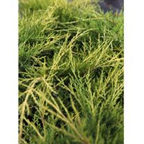 Juniperus procumbens Plant - Nana