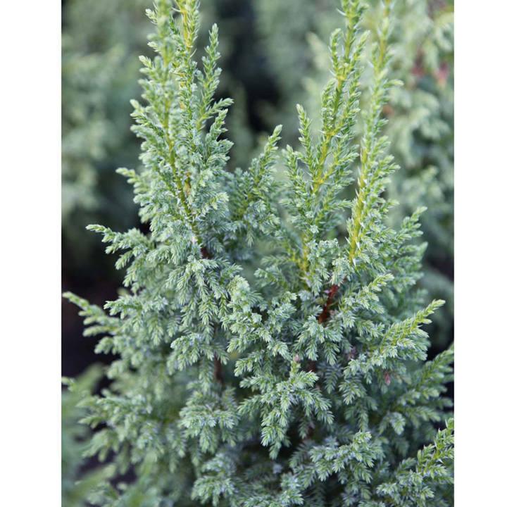 Juniperus squamata Plant - Little Joana®