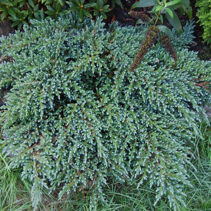 Juniperus squamada Plant - Meyeri