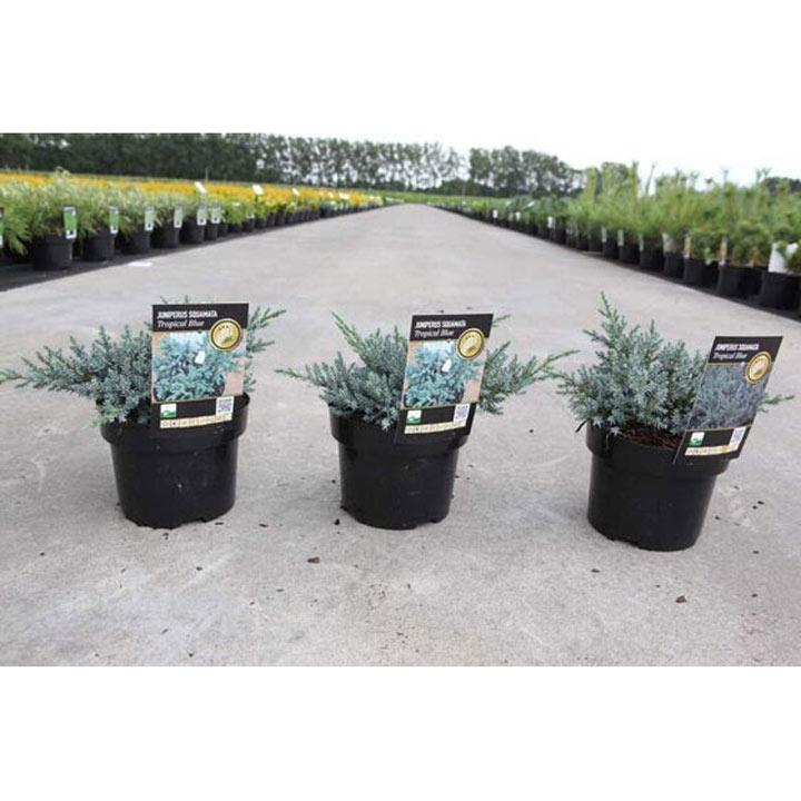 Juniperus squamata Plant - Tropical Blue