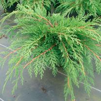 Microbiota decussata Plant
