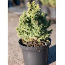 Picea glauca Plant - Alberta Globe