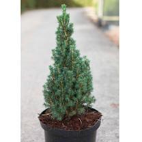 Picea glauca Plant - Zuckerhut