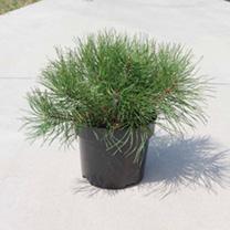 Pinus mugo Plant - Pumilio