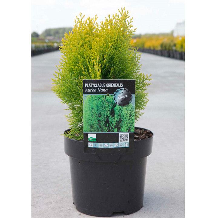 Platycladus orientalis Plant - Aurea Nana (Thuja)