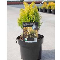 Platycladus orientalis Plant - Fleck