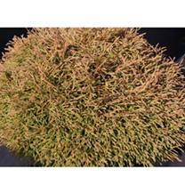 Thuja occidentalis Plant - Miky
