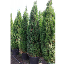 Thuja occidentalis Plant - Smaragd